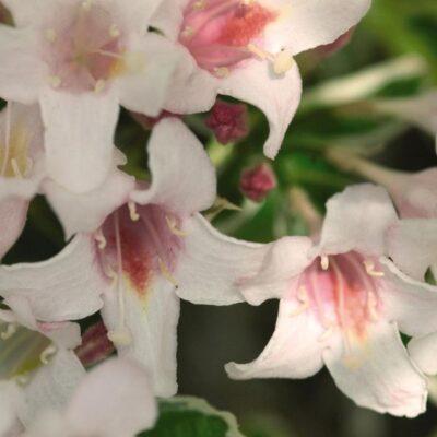 Variegated Weigela Garden Plant