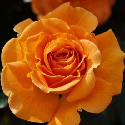 Vavoom Rose Garden Plant