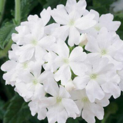 Verbena Lanai Blush White Garden Plant