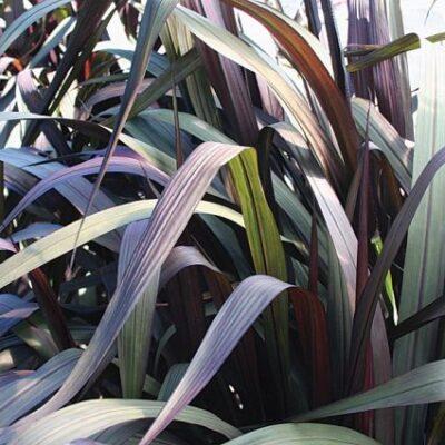 Vertigo Grass Garden Plant
