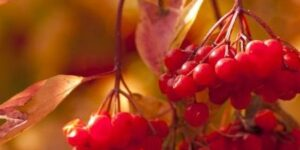 Viburnum Redwing American Cranberrybush Garden Plant