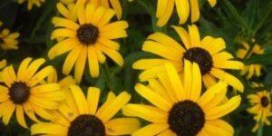 Viettes Little Suzy Black-Eyed Susan Garden Plant