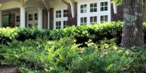 Vintage Jade Distylium Garden Plant