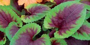 Viola Heartthrob Garden Plant