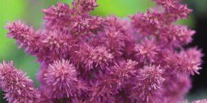Visions Astilbe Garden Plant