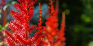 Visions in Red Astilbe Garden Plant