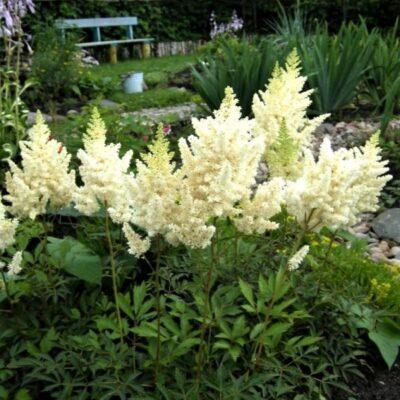 Visions in White Astilbe Garden Plant