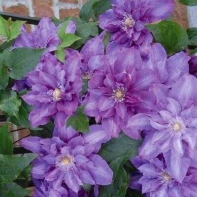 Vyvyan Pennell Clematis Garden Plant