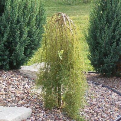 Walker Weeping Caragana Garden Plant