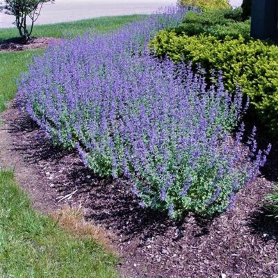Walker's Low Catmint Garden Plant