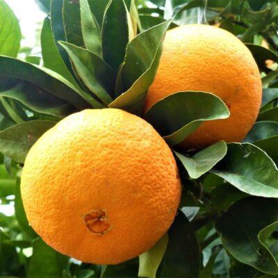 Washington Navel Orange Tree Garden Plant