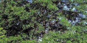 Water Oak Tree Garden Plant