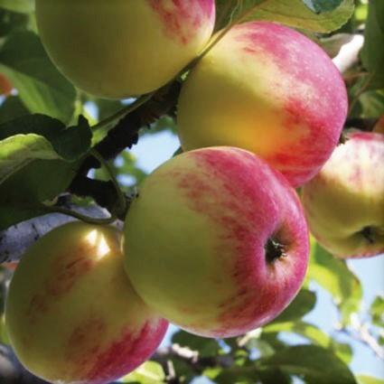 Wealthy Apple Tree Garden Plant