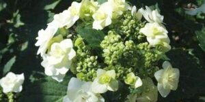 Wedding Gown Hydrangea Garden Plant