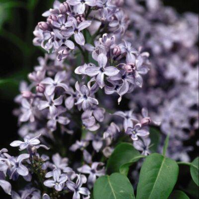 Wedgewood Blue Lilac Garden Plant