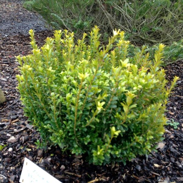 Wee Willie Boxwood Garden Plant