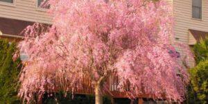Weeping Cherry Garden Plant
