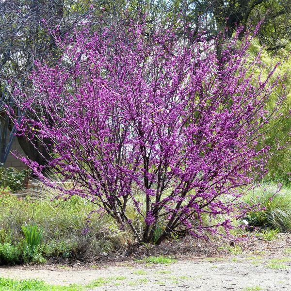 Western Redbud Tree Garden Plant