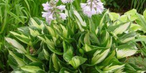 Whirlwind Hosta Garden Plant
