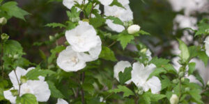 White Chiffon Rose of Sharon Garden Plant