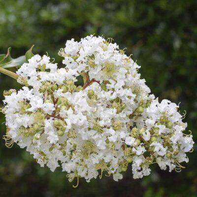 White Crape Myrtle Garden Plant