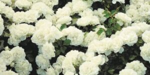 White Meidiland Rose Garden Plant