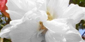 White Pillar Rose of Sharon Garden Plant