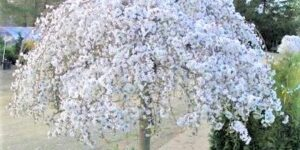 White Snow Fountain Weeping Cherry Garden Plant