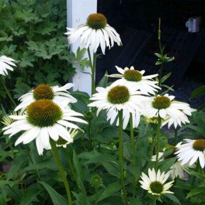 White Swan Coneflower Garden Plant