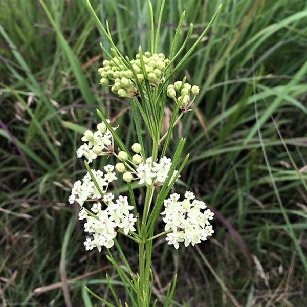 Whorled Milkweed Garden Plant