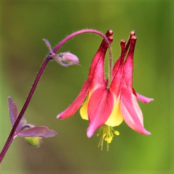 Wild Columbine Garden Plant