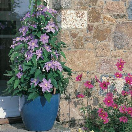 Will Goodwin Clematis Garden Plant
