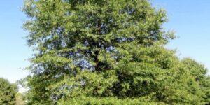 Willow Oak Tree Garden Plant