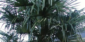 Windmill Palm Tree Garden Plant