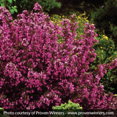 Wine and Roses Weigela Garden Plant