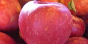 Winesap Apple Tree Garden Plant