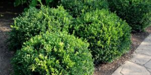 Winter Gem Boxwood Garden Plant