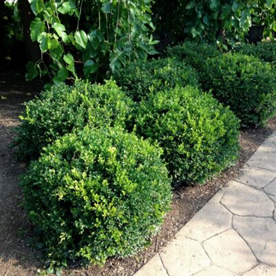 Winter Gem Boxwood Garden Plant
