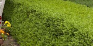Wintergreen Boxwood Garden Plant
