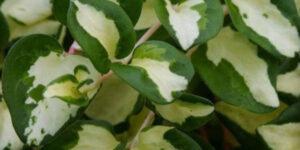 Wojos Jem Periwinkle Garden Plant