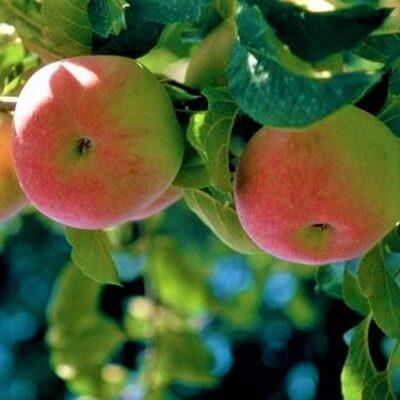 Wolf River Apple Tree Garden Plant