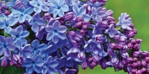 Wonderblue Lilac Garden Plant