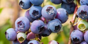 Woodard Blueberry Garden Plant