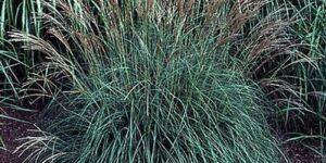 Yaku Jima Maiden Grass Garden Plant