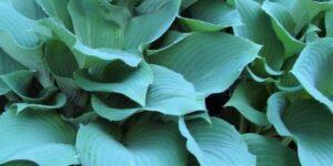 Yankee Blue Hosta Garden Plant