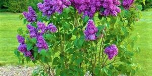 Yankee Doodle Lilac Garden Plant