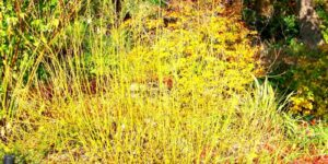 Yellow Twig Dogwood Garden Plant