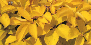 Yellow Wall' Virginia Creeper Garden Plant