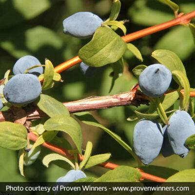 Yezberry Solo Japanese Haskap Garden Plant