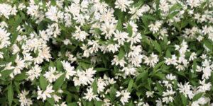 Yuki Snowflake Deutzia Garden Plant